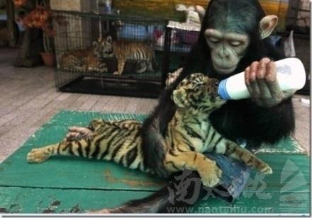 给老虎喂奶的猩猩.