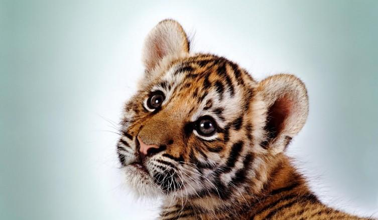 豹 豹子 壁纸 动物 虎 老虎 桌面 753_439