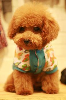 萌宠泰迪狗照片_女装