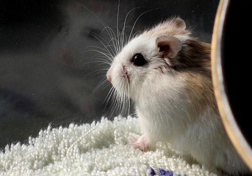 (六)仓鼠是十分活跃的动物