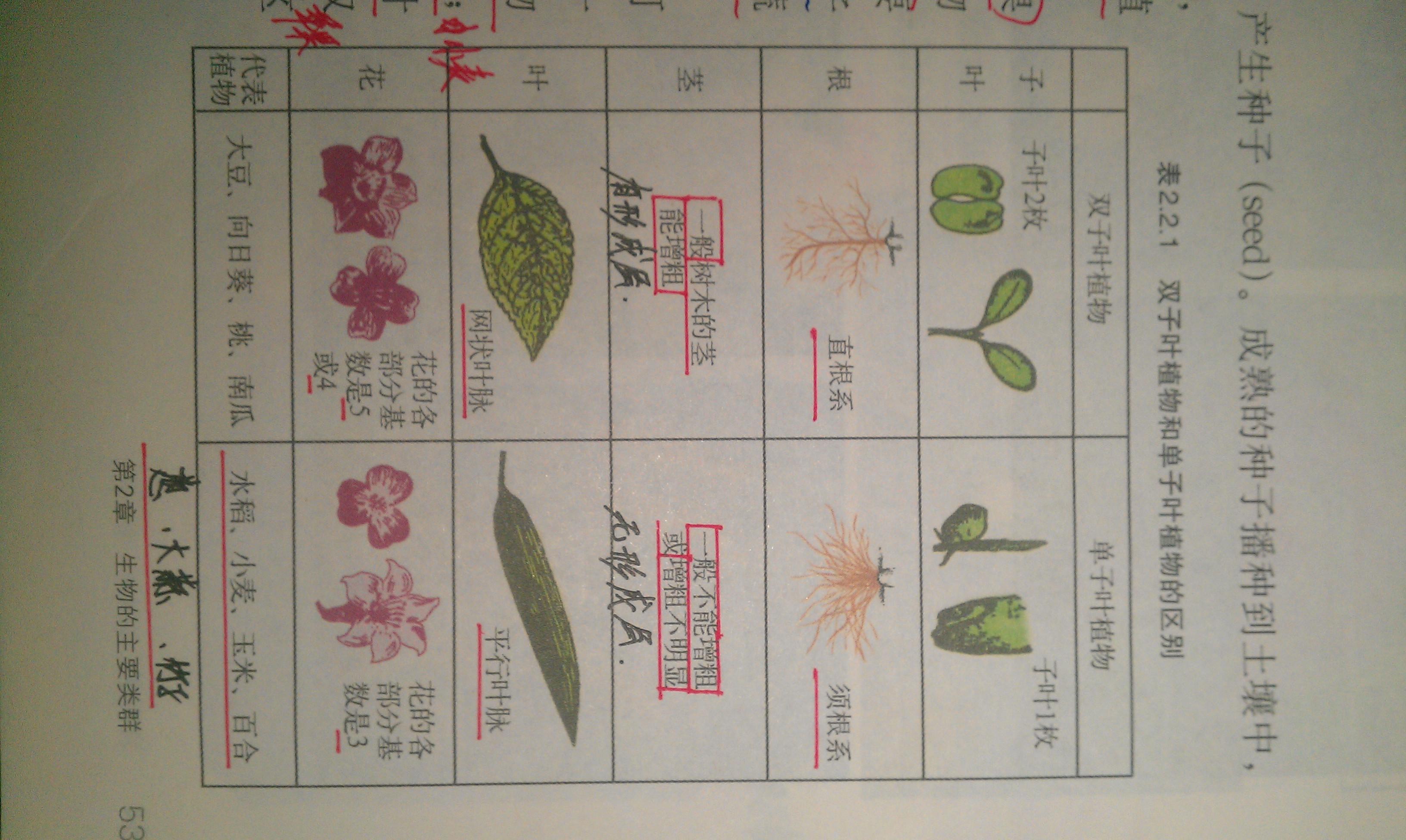双子叶植物:无限维管束,有叶柄,网状叶脉,有绿色组织(chlorenchyma),有些有表皮毛,无副卫细胞.单子叶植物:有限维管束,无叶柄,平行叶脉,无栅栏组织和海绵组织的分化,属于等叶面,有泡状细胞,保卫细胞为哑铃型.茎:单子叶植物的茎尖构造与双子叶植物相同,但由它所发育的茎的构造则是不同的.